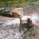trädfällning1